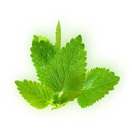 Lemon balm (Melissa officinalis) essential oil